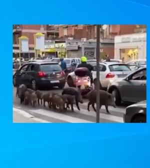 Vaddisznócsorda Róma utcáin